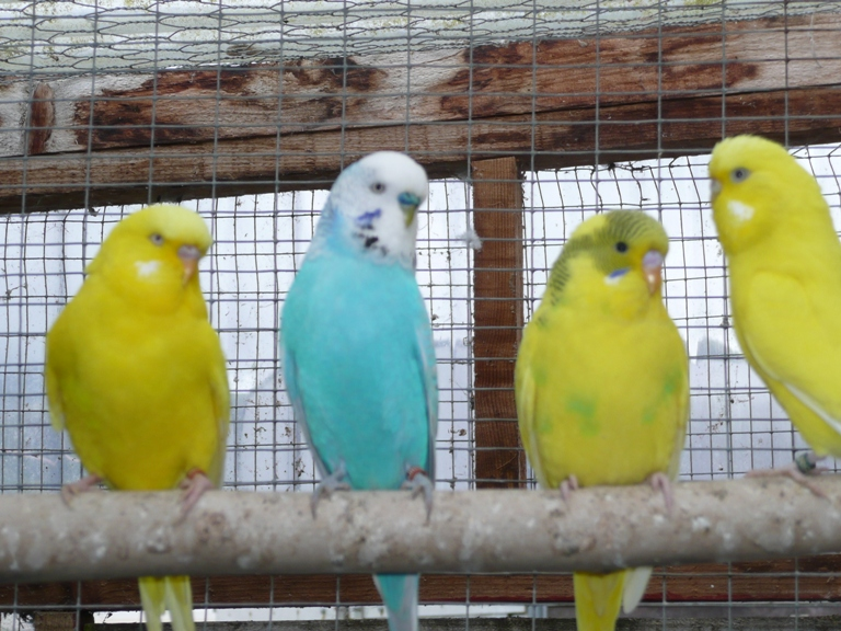 Lakeland BREEDS NEEDS BUDGIES